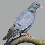 Stock Dove added to list of identified birds