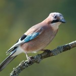 Jay becomes the 40th bird species to visit Bracken House